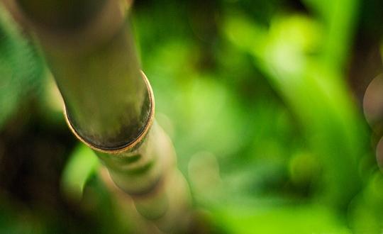 Bambus_1_540