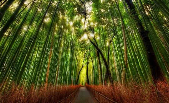 Bambus_2_540