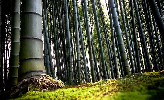 Bambus_4_540